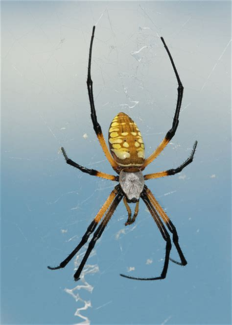 Common Backyard Spiders by Common Yellow Garden Spider Flickr Photo