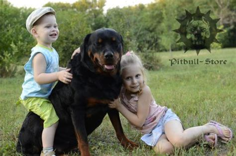 rottweiler with children should you get a for your child yes or no part 1 pitbull muzzle collar