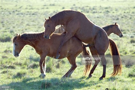 horse breeding videos stallions horses breeding on grass side view stock photo getty images