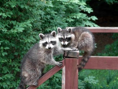 get rid of raccoons in backyard coexisting with raccoons thriftyfun