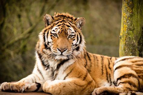 tiger beautiful desktop animals wallpapers hd wallpapers