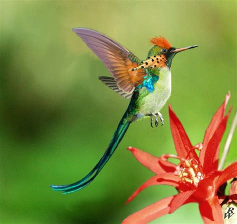 hummingbirds are new world birds that will make up the