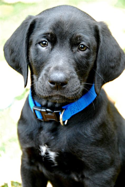 golden retriever in black half golden retriever half black lab labs
