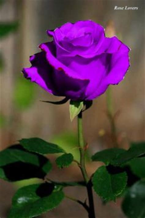 Anting Flower Petals Violet Soft Purple 1000 images about the purple on