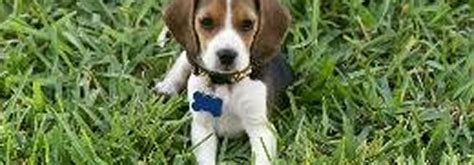 beagle puppies florida beagles beagle puppies for sale by beagle breeders raiford florida