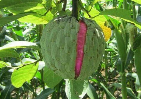 anonas fruit tree anonas el salvador el salvador en fotos