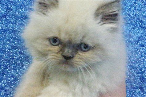 manhattan puppies and kittens himalayan kittens for sale in manhattan manhattan puppies kittens