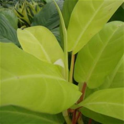 Philodenron Lemon philodendron lemon lime in the philodendrons database