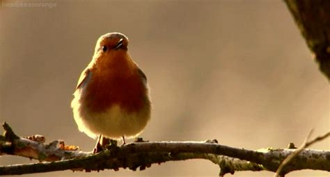 which birds that sing in the morning image live learn