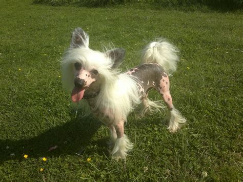 crested puppies crested stud corby northtonshire pets4homes