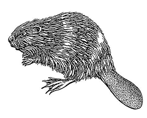 sketchbook transparent background beaver illustration transparent png stickpng