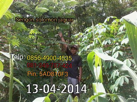 Jual Bibit Sengon Solomon F1 jual benih sengon solomon jaguar f1 2016 02 07