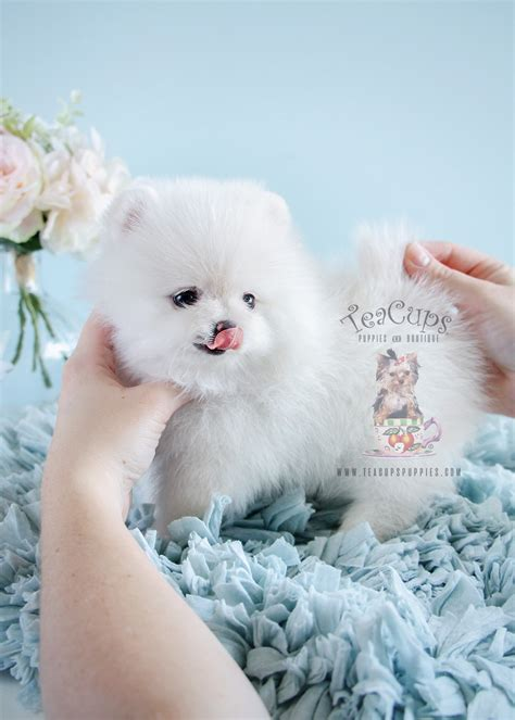 snow white pomeranian puppies sale pomeranian puppies for sale at teacups puppies south florida teacups puppies boutique