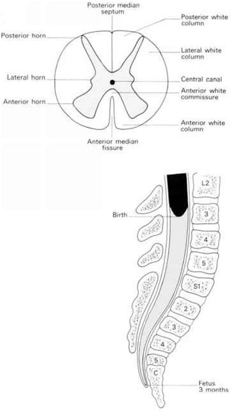 spinal cord transverse section age differences clinical features click to cure cancer