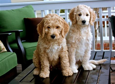 goldendoodle puppy information 8 pawesome goldendoodle facts you didn t barkforce