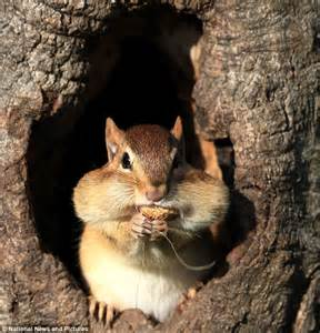 who s a greedy boy the really cheeky chipmunk who has