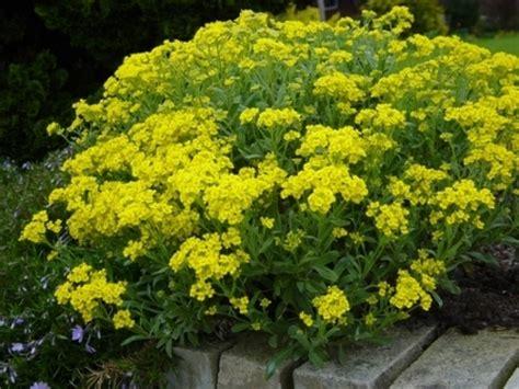 fiori perenni tappezzanti erbacee perenni tappezzanti e non verde e paesaggio