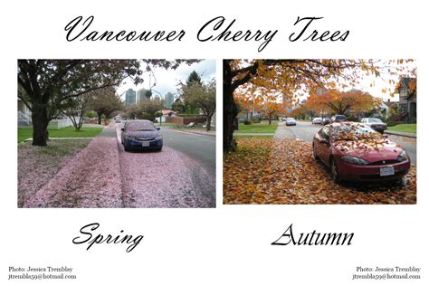 cherry tree used cars don t leave your car parked cherry trees vancouver cherry blossom festival