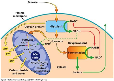 aerobic cellular respiration diagram biochemistry how does the switch between aerobic
