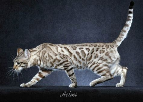 white bengal cat kittens 25 most adorable white bengal cat pictures and images