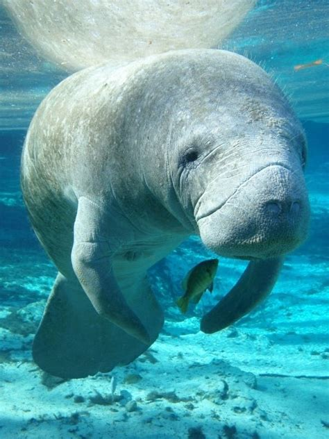 comforting manatee 1000 images about things i love on pinterest