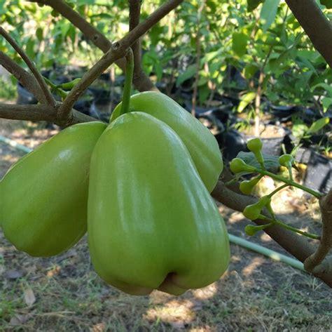 Bibit Mangga Manalagi Unggul Dan Berbuah Cepat Warung Bibit pohon buah yang cocok di tanam di pekarangan rumah halaman rumah warung bibit unggul