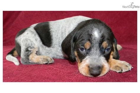 bluetick coonhound puppies for sale near me bluetick coonhound puppy for sale near knoxville tennessee 88b2a1b0 8241