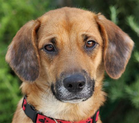 beagle shepherd mix puppy german shepherd and beagle mix puppies www imgkid the image kid has it