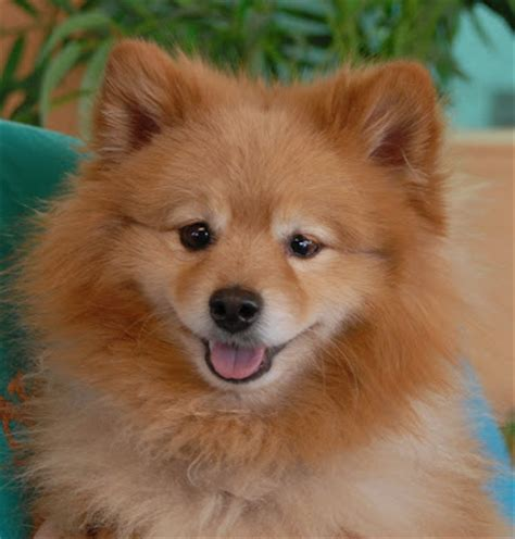 arizona pomeranian rescue pomeranian pictures and rescue breeds picture