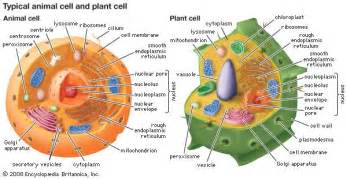 golgi apparatus definition function location amp facts