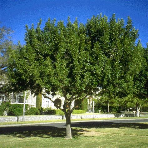 fan tex ash tree arizona ash tree in texas pictures to pin on pinterest
