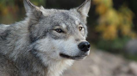 wallpaper google chrome wolf grey wolf portrait wallpaper allwallpaper in 55 pc en