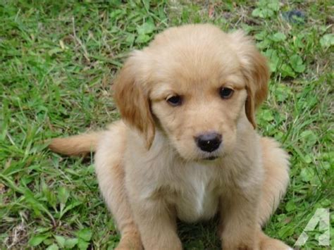 golden retriever puppies for sale wisconsin golden retriever puppies sweet for sale in weston wisconsin classified