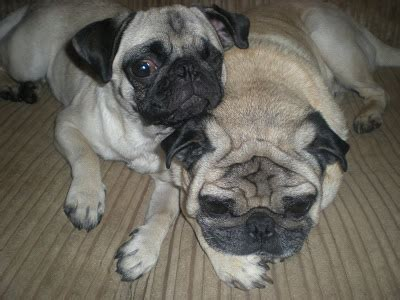 my pugs skin is turning black wrinkly pug puppy sleeps on back picture breeds picture
