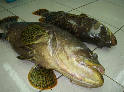 Ikan Segar Ikan Fresh Ikan Beku Ikan Kerapu Moso 1kg Up hasillaut001 ikan kerapu