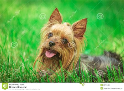 yorkie panting happy terrier puppy panting in the grass stock photo image 55707400