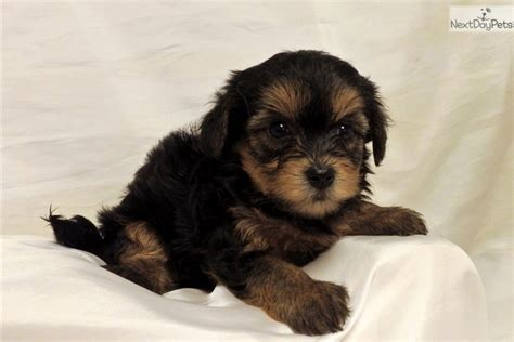 yorkie poo puppies for sale in arkansas yorkiepoo yorkie poo puppy for sale near rock arkansas d2913ed0 5ff1