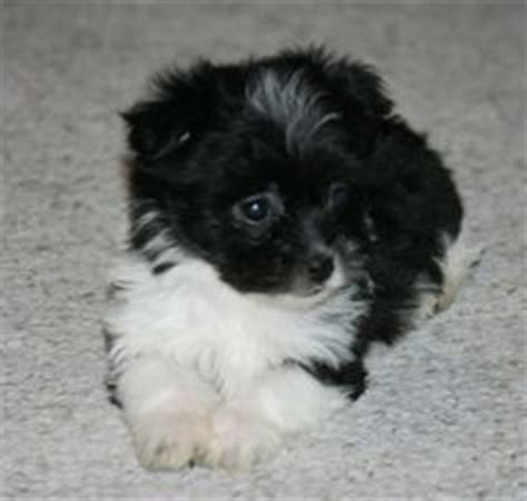 how much are havanese puppies uk 1000 images about havanese dogs on havanese dogs havanese puppies and cuba
