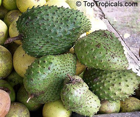 graviola tree fruit for sale annona muricata soursop guanabana graviola korosol