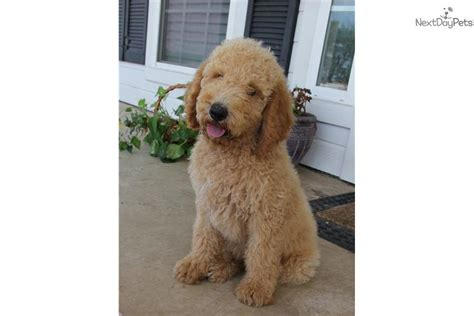 goldendoodle puppies dallas goldendoodle puppy for sale near dallas fort worth 5b7d0092 43f1