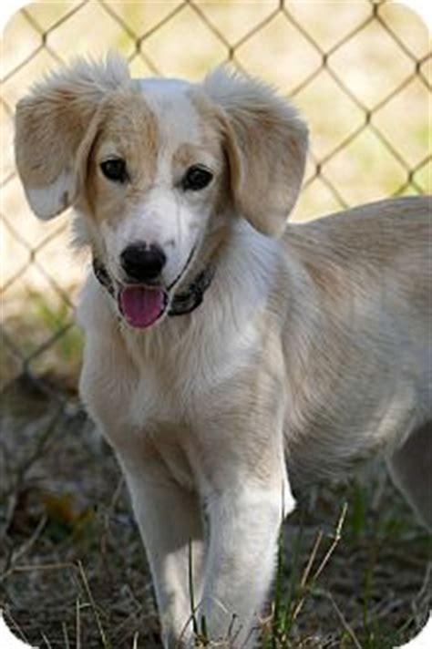 golden retriever saluki mix pennigton nj saluki golden retriever mix meet a puppy for adoption