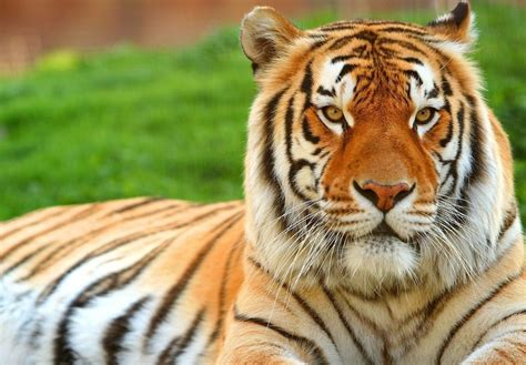 Essay On Tigers In India by News Tiger Numbers In India Up From 1 400 To 2 226 In 7 Years