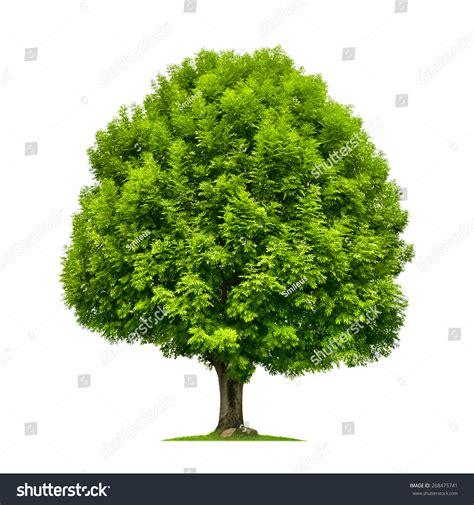 tree image ash tree lush green foliage stock photo 268475741