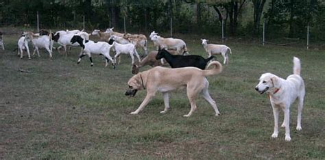 livestock guardian breeds livestock guardian dogs page 2 breeds picture breeds picture
