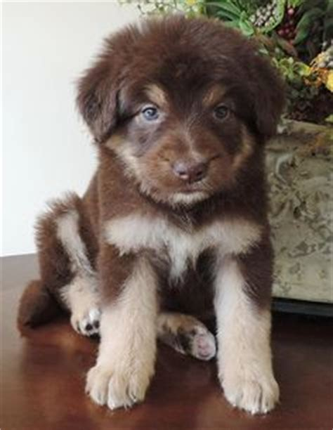 border doodle puppies for sale australia bordoodle border collie poodle cross this will be my