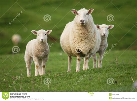 the l by lambs sheep and lambs stock photo image of sheep farm