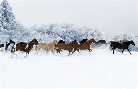 Horse Shower Curtains by Horses In Winter Photograph By Thomas Sbampato