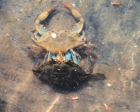 How Do Crabs Shed Their Shell by Blue Crab For Bait From Fishin Franks