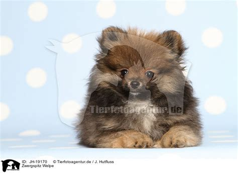 pomeranian common sickness pomeranian illnesses pomeranian illnesses breeds picture