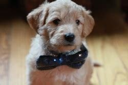 goldendoodle puppy rochester ny goldendoodle puppy for sale green collar boy nicknamed